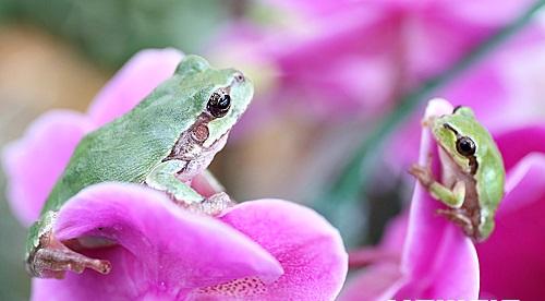경칩을 사흘 앞둔 지난 2일 충북농업기술원 연구온실에서 잠을 깬 청개구리가 호접란 꽃잎에 앉아 있다. /뉴시스