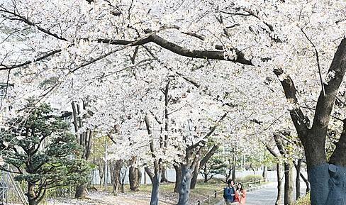 벚꽃 개화시기에 맞춰 진해군항제등 각 지자체의 벚꽃 축제에 대한 네티즌들의 관심이 높아지고 있다./사진=뉴시스