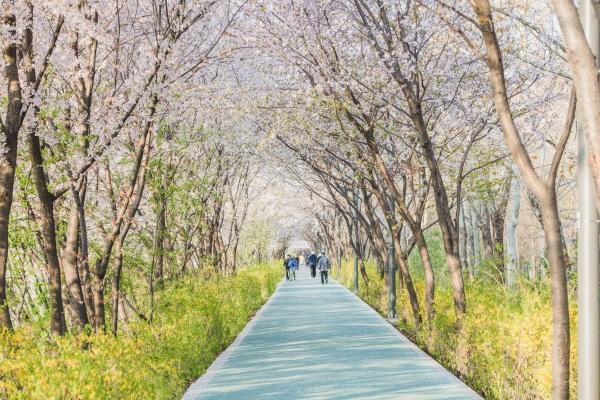 진해군항제가 오는 4월 1일부터 10일까지 개최된다. 진해군항제는 군항도시에서 함께 즐기는 세계최대 벚꽃축제다. 사진=글로벌이코노믹