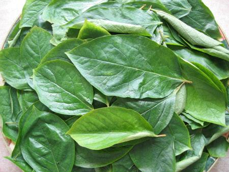 감잎차나 감잎전즙을 만드는 원료인 감잎은 오전 11시에서 오후 1시 사이에 따서 말리는 게 좋다.