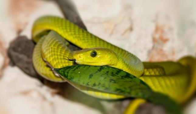 뱀에게 물리거나 뱀이 칭칭 몸을 감는 꿈은 풍부한 재운이 열리고 사업의 발전, 안정과 일신의 영화로움 등 부귀, 융성을 누리게 된다. 자료=글로벌이콘믹