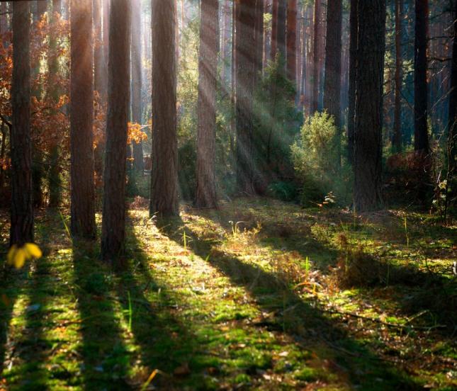 소나무가 울창한 것을 보는 꿈은 사업의 기반이나 직장의 기반이 튼튼하여 장차 크게 성공하게 됨을 상징한다. 자료=글로벌이코노믹