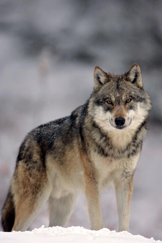 늑대가 사람으로 변하는 꿈은 주위 사람이나 친한 친구가 인면수심이 되는 흉몽이다. 자료=글로벌이코노믹