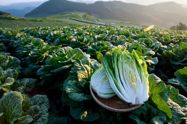 잘 자란 풍성한 배추밭은 사업기반을 말하며 싱싱하고 좋은 배추는 사업의 성과를 상징한다. 자료=글로벌이코노믹