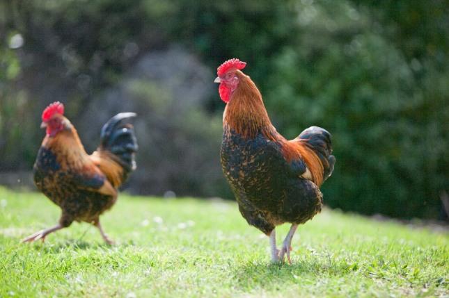 닭이 나무 위에 올라가는 꿈은 자신이 꿈꿔 왔던 바를 성취하거나 신분상승의 기회가 올 것임을 암시하는 길몽이다. 자료=글로벌이코노믹
