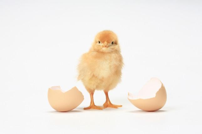 사업가나 직장인이 닭의 털을 뽑는 꿈은 예상치 않았던 곳에서 금전적 손해나 손실을 입게 되거나 큰 망신을 당하게 될 수 있음을 암시하는 흉몽이다. 자료=글로벌이코노믹