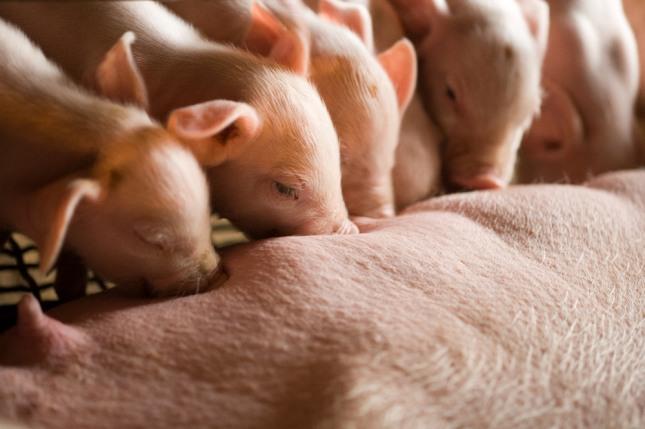 길을 걸어가다가 뜻밖에 돼지를 만나는 꿈은 횡재수 또는 로또를 맞을 길몽이다. 자료=글로벌이코노믹