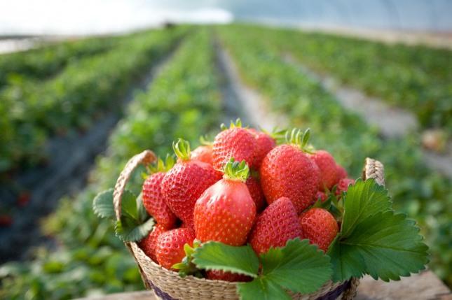 자신의 딸기 밭이 피해를 입는 것을 보게 된다면 잘 준비해 나가던 일들이 난관에 봉착하게 될 것을 암시하는 흉몽이다. 자료=글로벌이코노믹