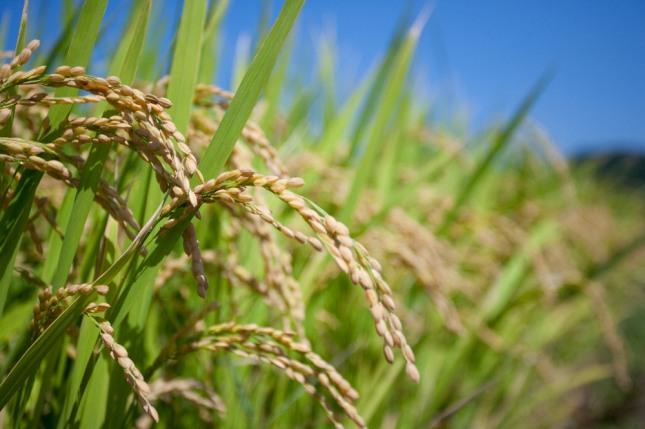 생쌀을 씹어 먹고 있으면 건강상 문제가 발생하거나 어려운 상황에 놓이고 될 것을 암시하는 흉몽이다. 자료=글로벌이코노믹