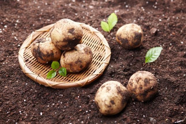 감자밭에 감자를 심거나 잘 익은 감자를 삶아 먹는 꿈은 재물이 늘어남을 암시하는 길몽이다. 자료=글로벌이코노믹
