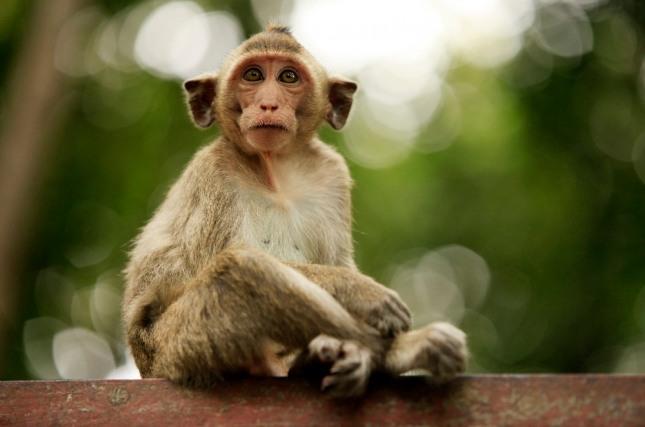 꿈속에서 원숭이들간에 서로 싸우고 있다면 가까운 지인이나 친구간에 사소한 말다툼으로 시작하여 큰 싸움이 일어날 수 있음을 경고하는 꿈이다. 자료=글로벌이코노믹