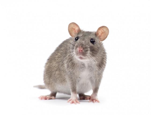 새끼 쥐가 우글거리며 모여 있거나 시끄럽게 찍찍거리며 거슬리게 하고 있다면 속임수나 모함으로 피해를 입거나 좋지 않은 분쟁이 발생할 수 있음을 암시하는 흉몽이다. 자료=글로벌이코노믹