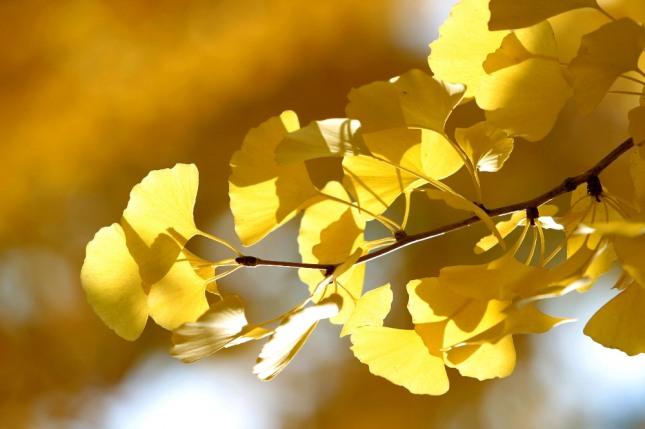 은행나뭇잎이 쌓이거나 은행알을 소유하는 꿈은 많은 돈을 얻거나 작품성과를 얻게 된다. 자료=글로벌이코노믹