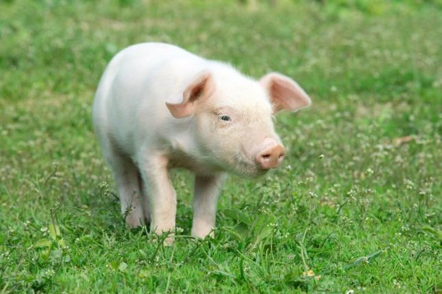 하늘에서 떨어지는 돼지를 손으로 받는 꿈은 천신의 도움으로 만복을 받아 부자가 된다. 행운, 재물, 돈, 잉태 등 길조이다. 자료=글로벌이코노믹