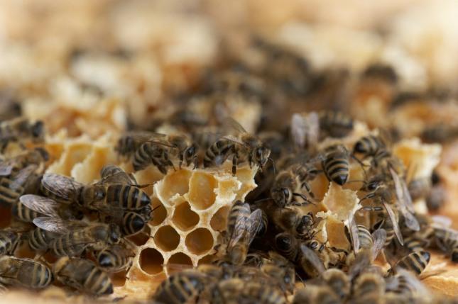 꿈속에서 벌에 쏘이게 되거나 벌에 쏘인 부분이 부풀어 오르는 꿈은 근심걱정, 사건이나사고가 발생함을 암시한다. 자료=글로벌이코노믹