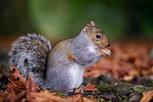 다람쥐가 밤나무에 올라가는 꿈은 확실한 실력자를 만나 도움을 받고 사업성과가 대단히 양호하게 된다. 재물, 승진 등의 길조이다. 자료=글로벌이코노믹