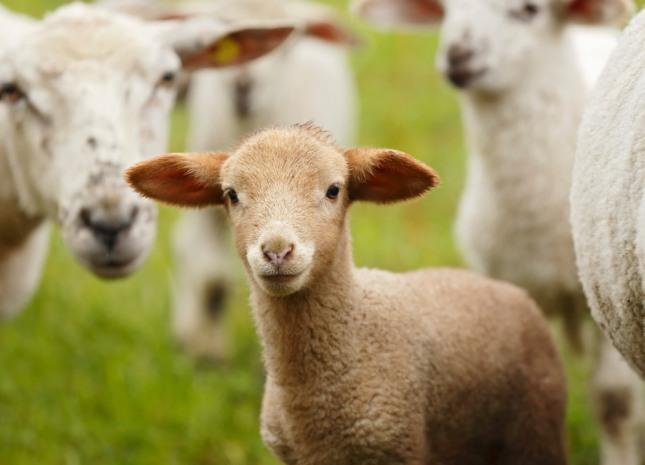 들판에서 양떼를 몰고 다니는 꿈은 많은 재물을 소유하게 된다. 자료=글로벌이코노믹