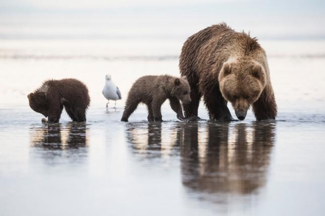 수십 마리의 곰들이 집안으로 들어오는 꿈은 생산, 무역, 유통업 등에 투자하면 톡톡히 한몫을 챙기게 된다. 재물과 횡재수를 상징한다. 자료=글로벌이코노믹