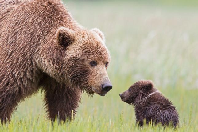 어미 곰에게 대나무순을 받는 꿈은 친구나 애인에게 예쁜 선물을 받고 사랑과 우정의 표시를 한다. 자료=글로벌이코노믹