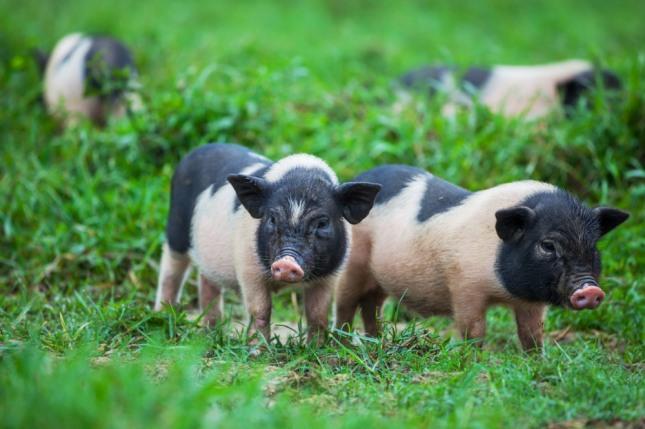 돼지와 성교하는 꿈은 사업체 또는 돈벌이와 관계되는 어떤 계약을 맺을 수 있게 된다. 자료=글로벌이코노믹