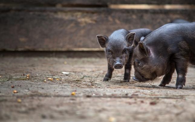 돼지가 방으로 들어왔는데 내몰지 않은 꿈은 주변사람의 도움으로 출세와 사업의 성공이 있을 길몽이다. 자료=글로벌이코노믹