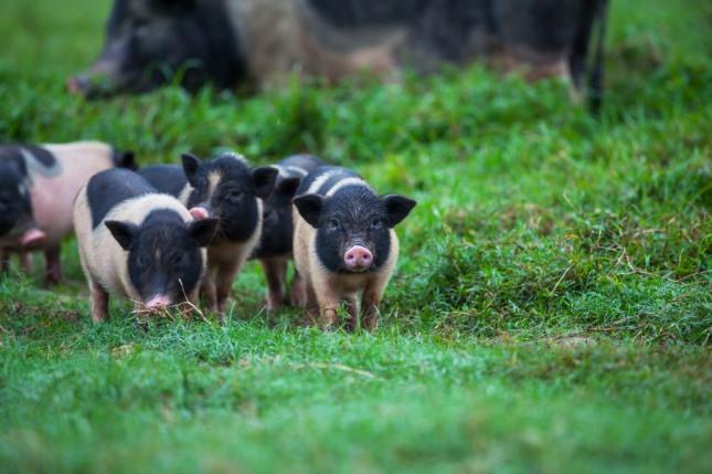 거울 속에서 돼지들이 튀어나오는 꿈은 뜻밖에 떼돈을 벌어 부자가 된다. 자료=글로벌이코노믹