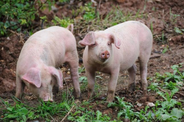 돼지 한 마리가 갑자기 여러 마리로 변하는 꿈은 재물이 생기며 사업이 번창한다. 연구하는 직업을 가진 사람은 좋은 결실을 맺게 된다. 자료=글로벌이코노믹
