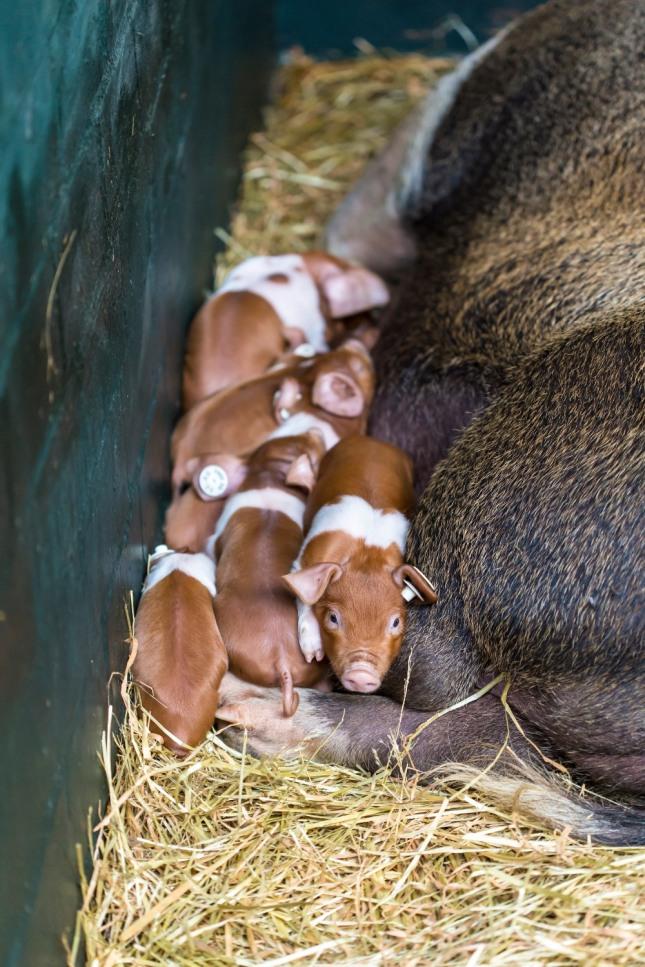 새끼 돼지가 어미의 젖을 빨아 먹는 꿈은 횡재수뿐만 아니라 가정에 경사스런 일이 있고 재물과 돈이 들어온다. 자료=글로벌이코노믹