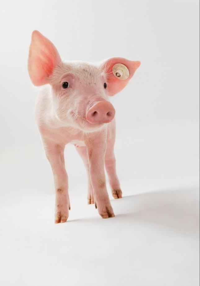 방안에서 큰 돼지와 싸우다 그놈의 목을 누르고 있는 꿈은 경쟁 또는 재판 등에서 일승일패를 거듭하다가 결국 승리하는 길몽이다. 자료=글로벌이코노믹