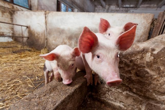 커다란 돼지가 집 안으로 들어오는 것을 보고 결혼하는 꿈은 상대방은 복이 많은 사람이다. 자료=글로벌이코노믹