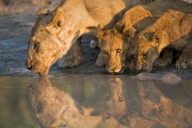 들판에서 여러 마리의 호랑이나 사자가 어울려 노는 꿈은 어떤 단체에서 지식인이 많은 것을 보거나 책을 읽을 일이 있다. 자료=글로벌이코노믹