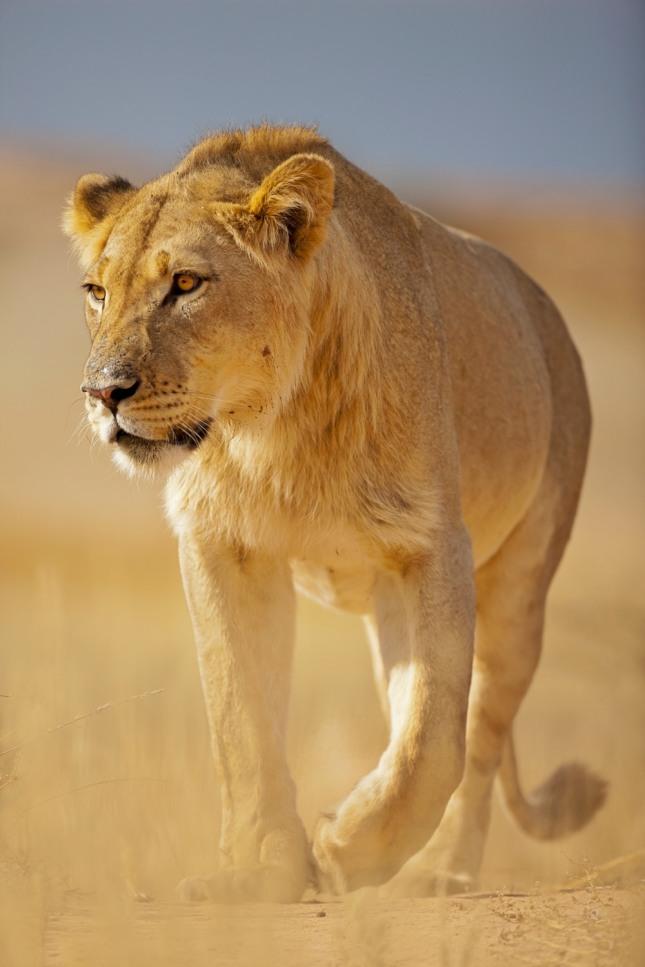 사자나 호랑이를 죽이는 꿈은 장애물을 제거하고 되고 일이 성사된다. 자료=글로벌이코노믹